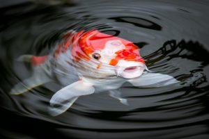 koi-fish-1