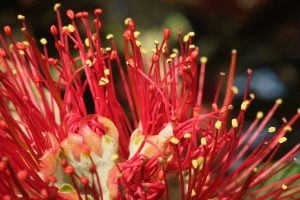 pohutukawa_flower_stamens_and_styles